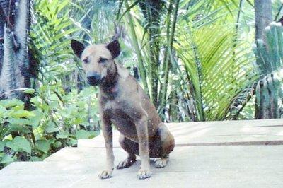 Anjing - Yoko.jpg